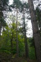 Původní typ borovice lesní (pinus sylvestris) vázaných  na suché hřbety piskovcových skal, Jaroslav Valečka, 2009