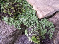 Borečka vzácná (Targiona hypophylla) v trachytové suti na vrcholu vrchu., Miroslav Radoň, 2005