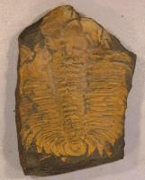 Velký trilobit Hydrocephalus carens (velikost vzorku cca 10 cm). Oranžová barva zkamenělin je typická pro skryjsko-týřovickou oblast. , Radko Šarič, 2012