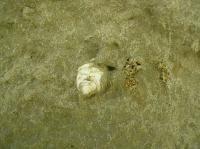Písky bzeneckého souvrství (zóna C-D) se schránkou měkkýše rodu Melanopsis., Pavla Tomanová Petrová, 2009